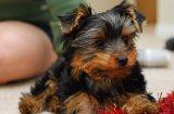 Правилното хранене при дребните породи кучета