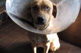 Лаймска болест (Борелиоза) при кучетата