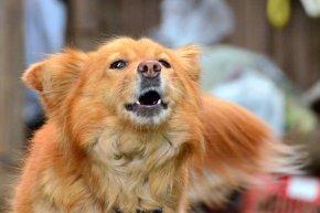 лаещо куче