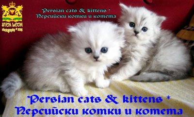 Очакваме малки, сладки котенца! ИГРАЙ И СПЕЧЕЛИ породисто коте сребърна чинчила! БЕЗПЛАТНО!