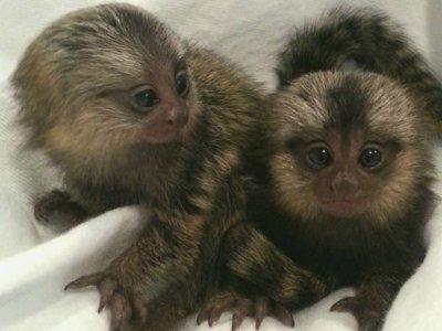 Маймуни маймуни за осиновяване.