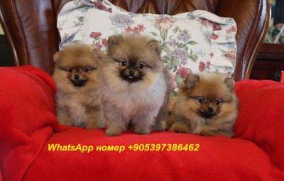 Кучешки кученца, гарантирано от породата