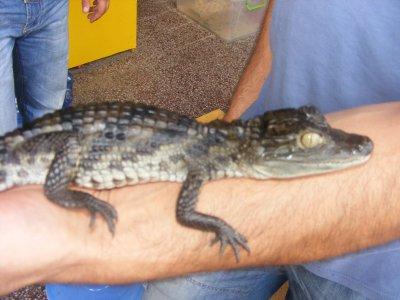 Продавам крокодил очилат кайман