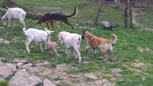 Белгийски овчарчета - малиноа - бъдещи строги пазачи и потомствени пастири !