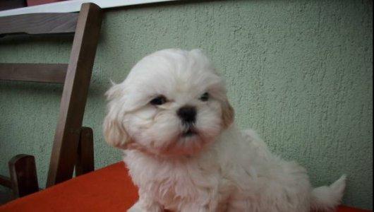 ШИ-ТЦУ кученца бебета