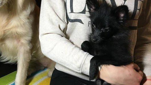 Мини шпиц - четиримесечно мъжко кученце