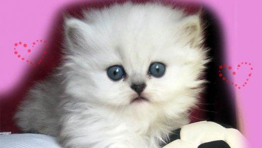 Безплатно! Очакваме малки сладки котенца! Запазете си коте сега!