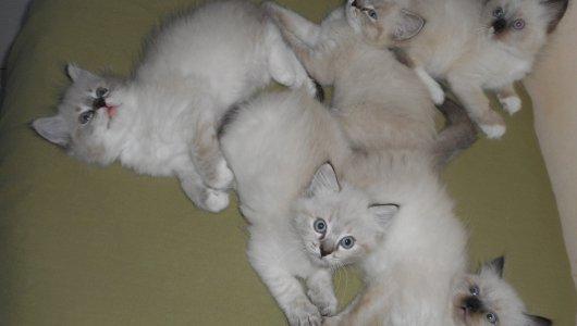 Регдол котета