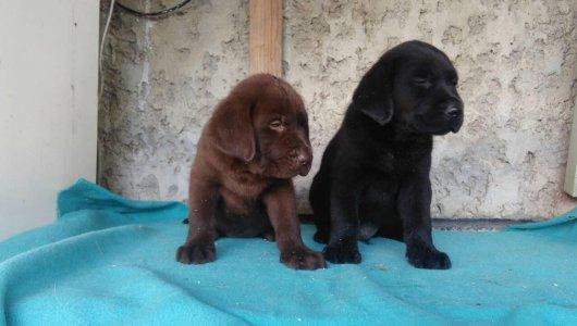 Лабрадор Ретривър - черни и шоколадови