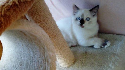 Регдол женско коте