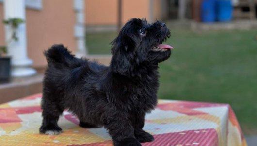 Хавайски бишън кученца за продажба