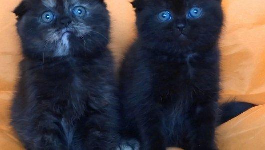 Клепоухи женски котенца