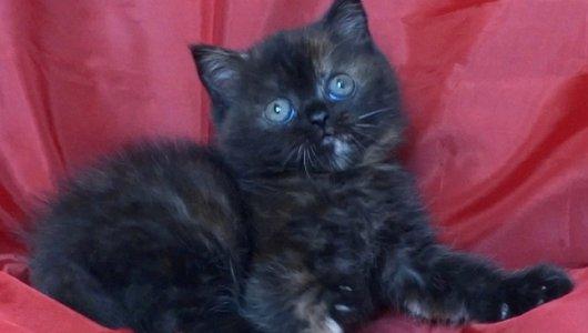 Клепоухо и правоухи късокосмести котета