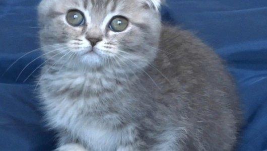 Синьо клепоухо таби котенце