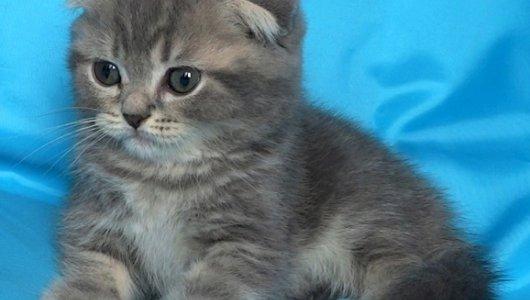 Мъжко клепоухо таби котенце