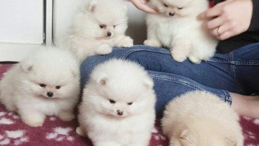 Налични кученца на померан