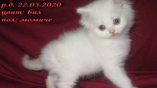 Породисто персийско коте, бяло, женско, персийка, котенце.