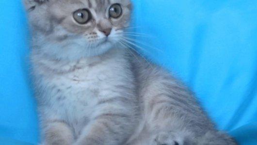 Клепоухо късокосместо котенце