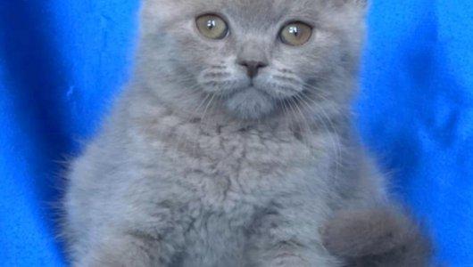 Британски късокосмести котенца