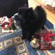 Померан - перфектният новогодишен подарък